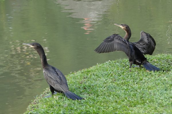 Cormorán Neotropical