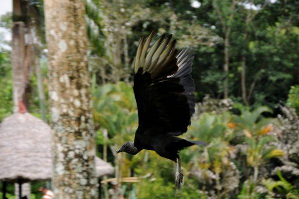 Gallinazo Negro