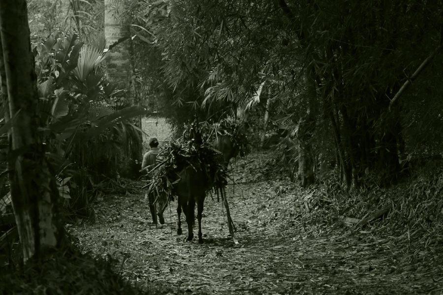 Mula llevando la Caña para la Molienda
